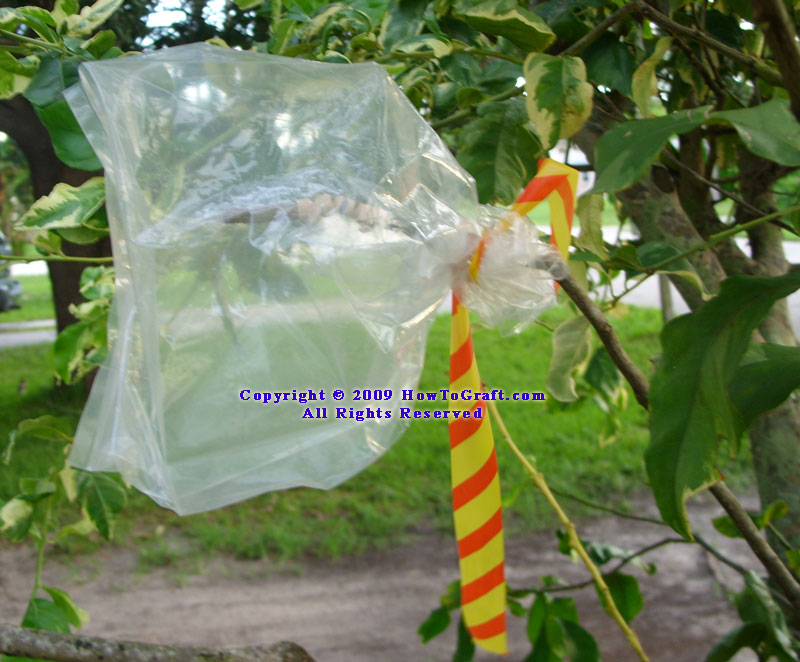 Grafted plant protected by plastic bag